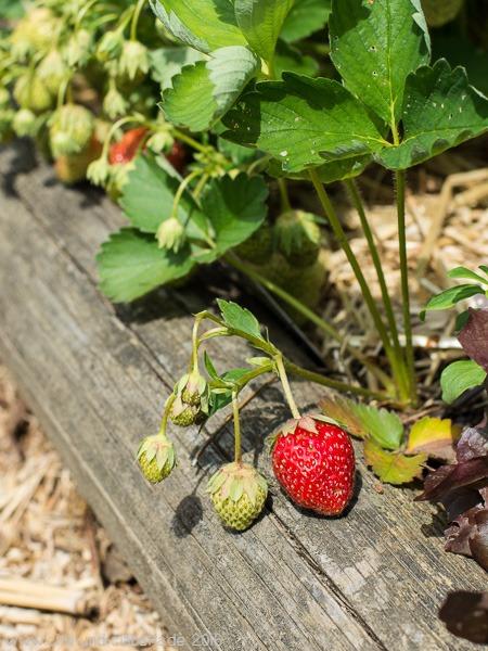 Erdbeeren Garten
