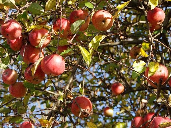 Äpfel Ida Red