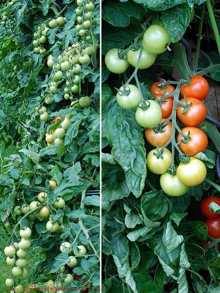 Tomaten 2010 Picolino