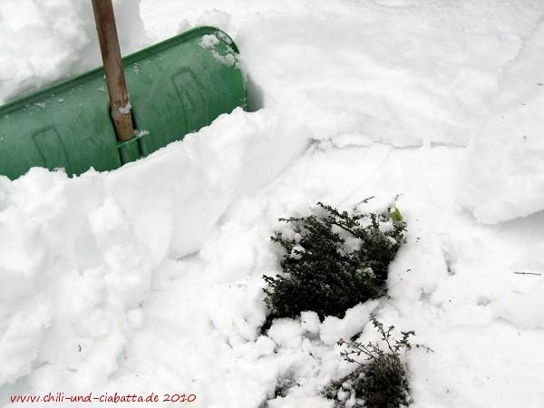 Thymian im Schnee